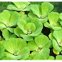 Muschelblume - Wassersalat - Grüne Wasserrose / Pistia stratiotes