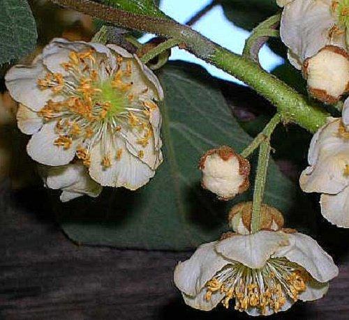 Actinidia deliciosa, Fuzzy Male Kiwi vine. Live plant to 1'-2' tall by Maya Gardens, Inc. (Image #2)