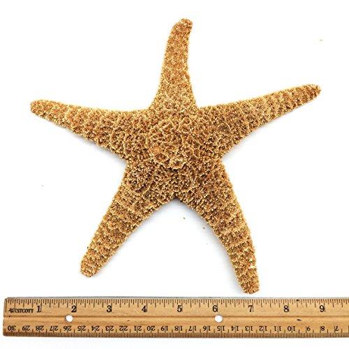 PEPPERLONELY 1 PC Large Sugar Starfish, Brown Sugar Starfish, 8 Inch ~ 10 ()