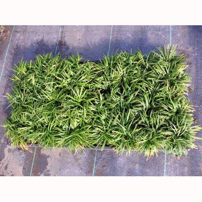 マット植物:玉竜(タマリュウ)のマット25cm×25cm 10枚セット[グランドカバーに草花の苗] B075GY549F