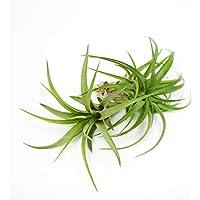 Pack de 2 Plantas del Aire de Color Verde Kit Tillandsia Ionantha Plantas del Aire o Claveles del Aire