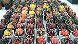 200 Fresh Seeds Gymnocalycium mihanovichii variegata Cactus Seeds Kaktus Rare