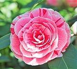Dad's Pink Camellia Japonica - Live Plant
