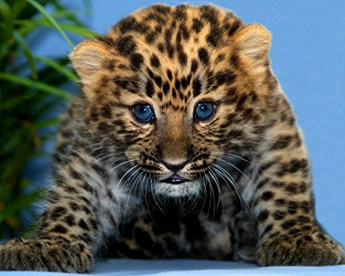 Baby Leopard Cub / Wildcat 8 x 10 GLOSSY Photo Picture IMAGE #2 (Baby Leopard Pictures)