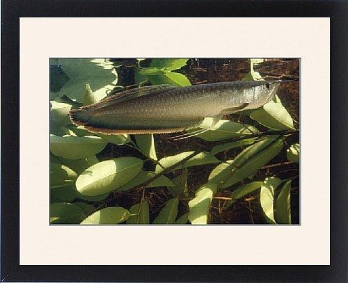 Framed Print of AF-237 Silver ARAWANA / Arowana / Aruana FISH