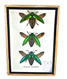 3 Real Jewel Beetle (Sternocera Aeguisignata) Open wings Mounts Insect Animals Taxidermy in Framed