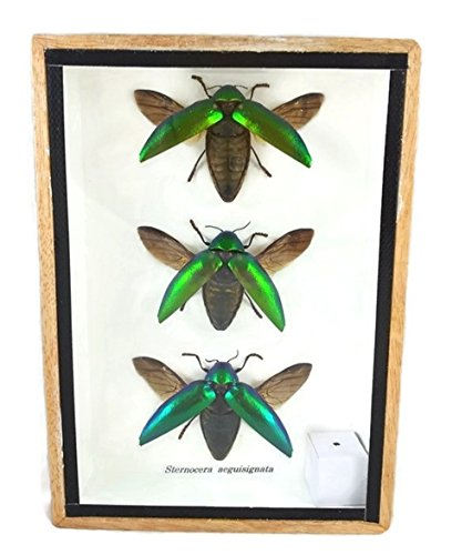 3 Real Jewel Beetle (Sternocera Aeguisignata) Open wings Mounts Insect Animals Taxidermy in Framed by Halfmoon