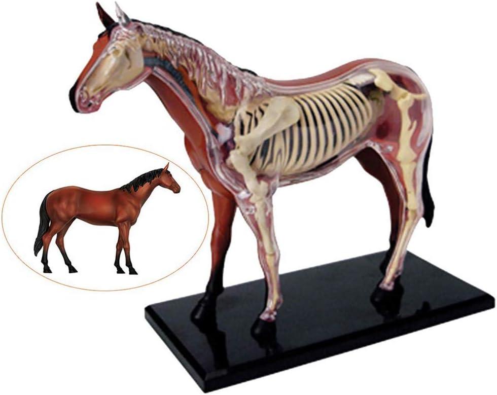 GEEFSU-Modelo Anatómico Del Caballo Biología Animal Órgano Desmontable - Para La Enseñanza Médica
