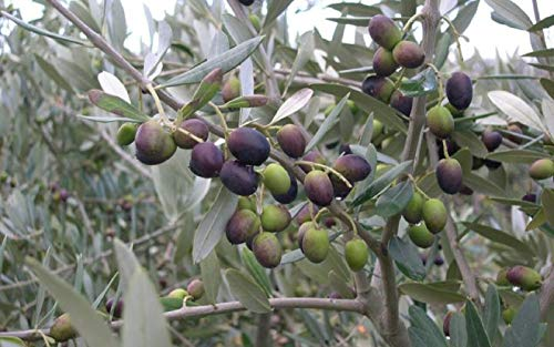 Leccino Olea europaea Olive Tree Live Plant Home Garden