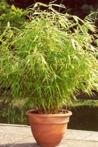 6 X Bambus Pflanze Fargesia Rufa Ca 40 Cm Jetzt Mehr Erholung Im