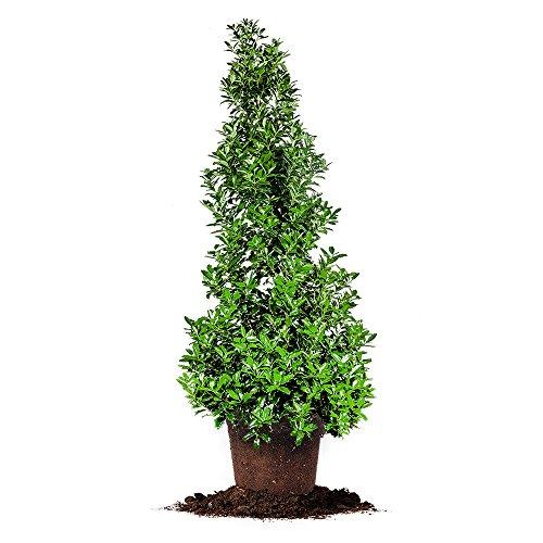 OAKLEAF HOLLY - Size: 2-3 ft, live plant, includes special blend fertilizer & planting guide