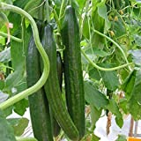 buy 20pcs Cucumber Vegetable Seeds, Organic Vitamin Suffolk Herbs Cucumber, for Salad now, new 2020-2019 bestseller, review and Photo, best price $4.90
