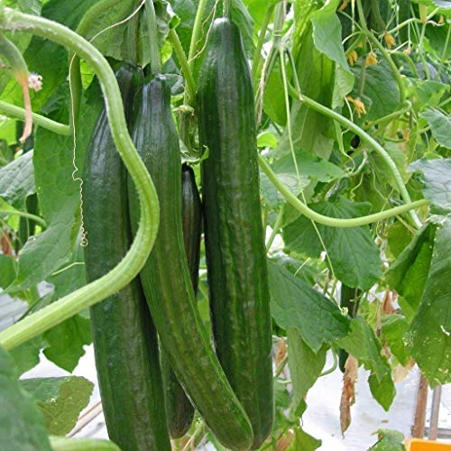 20pcs Cucumber Vegetable Seeds, Organic Vitamin Suffolk Herbs Cucumber, for Salad