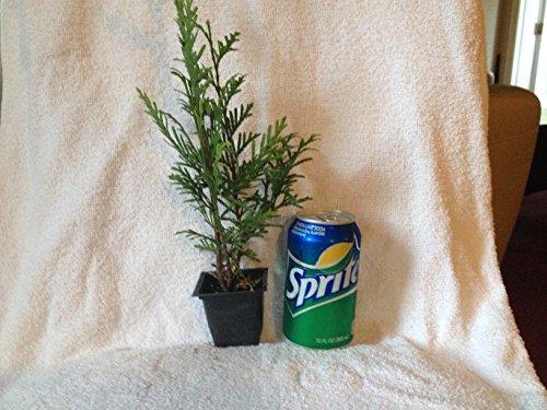 25-thuja-green-giant-arborvitae-8-12-inch-tall-trees