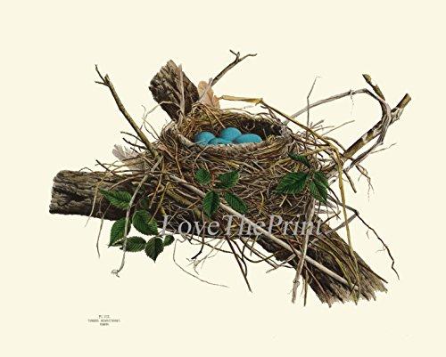 Bird Nest Print Robin Antique Art Beautiful Blue Eggs Green Garden Forest Nature Tree Branch Home Room Wall Decor Poster Unframed N4 ()