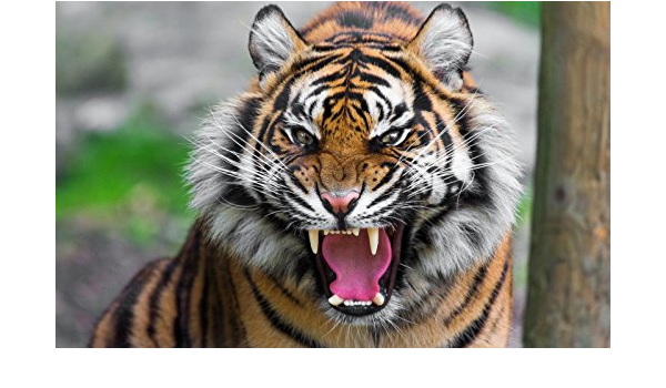 Amazon Com The Ferocious Tiger Art Fabric Cloth Rolled Wall Poster Print Size 40 X 24 21 X 13