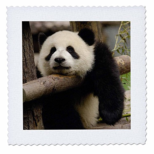 3dRose Giant Panda Bears, Wolong China Conservation, China-AS07 Pox0370 - Pete Oxford - Quilt Square, 12 by 12-Inch (qs_70206_4) - Panda Bear Fabric