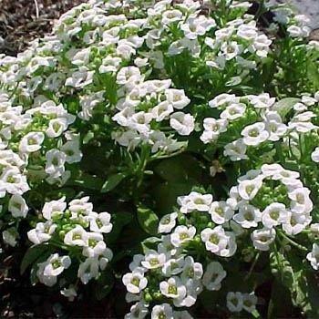 Outsidepride Alyssum Sweet - 5000 Seeds ()