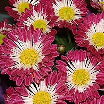 vista 200 UNIDS Rare Bonsai Semillas de Crisantemo Semillas de Flores de Crisantemo En Maceta Perenne Marigold Amarillo para el Jardín de Su Casa Plantando semillas de Crisantemo