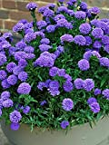 Perennial Farm Marketplace Aster Novi-belgii 'Blue Bayou' ((New York) Perennial, Size-#1 Container, Large Double Violet Flowers