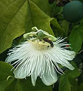 Passiflora eichleriana   Passionflower   20_Seeds FREE SHIPPING TO US