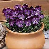 Outsidepride Viola Admiration - 1000 Seeds