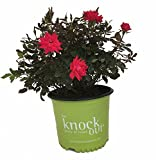 Knock Out Roses Double Knock Out Rose - Rose K.O. Dbl Knockout - 3 Gallon