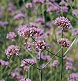 David's Garden Seeds Flower Verbena Bonariensis SL1558 (Purple) 100 Non-GMO, Heirloom Seeds