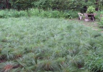 Classy Groundcovers - Carex pensylvanica (Pennsylvania Sedge, C. marginata, C. stolonifera , Oak Sedge, Penn Sedge, Yellow Sedge, Early Sedge) {24 Pots - 3 1/2 in.}