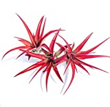 5 Pack Red Abdita Tillandsia Air Plants – Medium Air Plant Variety Pack – 30 Day Guarantee – Fast Shipping – House Plants – Succulents – Free Air Plant Care Ebook By Jody James For Sale