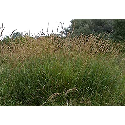Cheap Fresh Phalaris Arundinacea Native Ornamental Grass Seeds Get 10 Seeds Easy Grow #GRG01YN : Garden & Outdoor