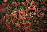 Gomphrena Haageana Qis Series Orange Annual Seeds