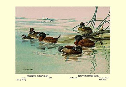 Peruvian Ruddy Ducks - Buyenlarge Argentine and Peruvian Ruddy Ducks - Gallery Wrapped 28