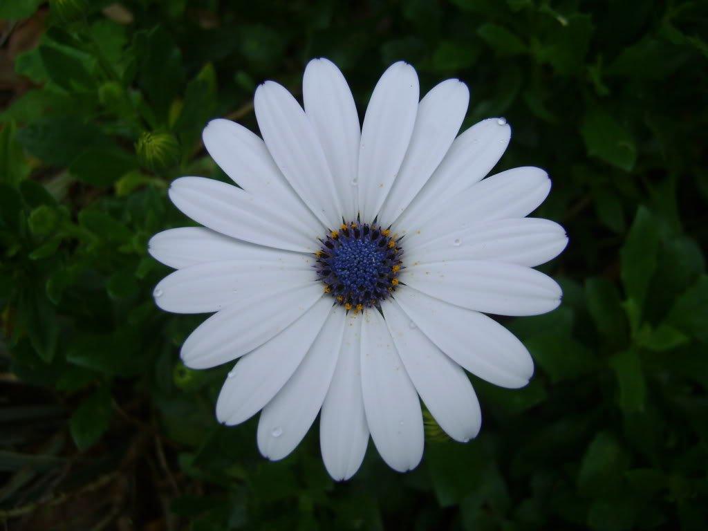 amazon com 50 white african cape daisy dimorphotheca sinuata