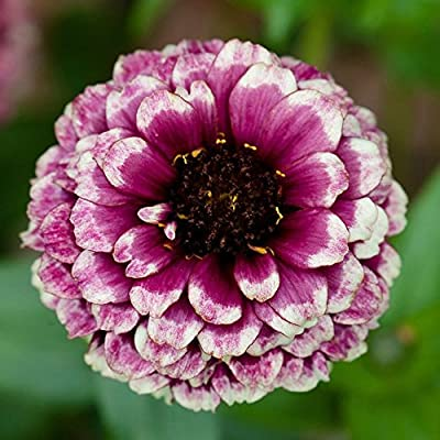Aztec Burgundy Bi Color Zinnia Certified 40 Seeds #2309 Item UPC#637632549234