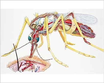 Amazon.com: 10x8 Print of Mosquito (Culicidae), female, internal ...