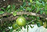 8 Seeds of Crescentia Cujete - Calabash Tree - Rare Tropical Plant Tree Seeds