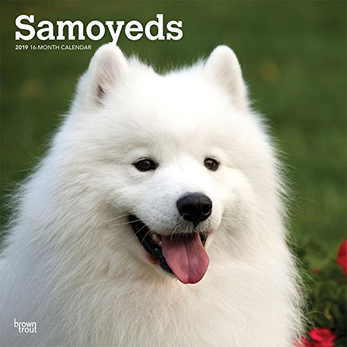 Samoyed Calendar - 2019 Samoyeds Wall Calendar, Samoyed by BrownTrout
