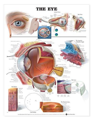 The Eye Anatomical Chart (Eye Color Lens)