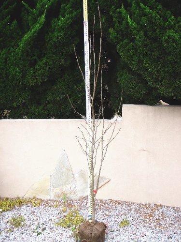 ナナカマド 単木 樹高H:2000mm B004KJW05U