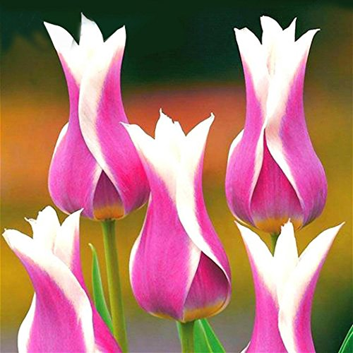 (Lioder Seeds Garden - Rare 50pcs Blend Royal Highness Tulipa Tulip Flower Seed Perennial Pot Flower Seeds for Borders, containers and Rock Gardens)