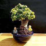 Micro Bonsai - Dwarf jade bonsai - Very old plant