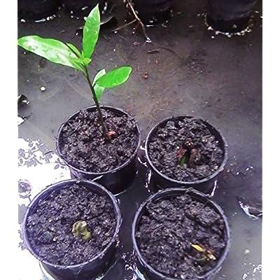 Thai Pouteria campechiana Sapotaceae 5 Seeds ThailandMrk : Garden & Outdoor