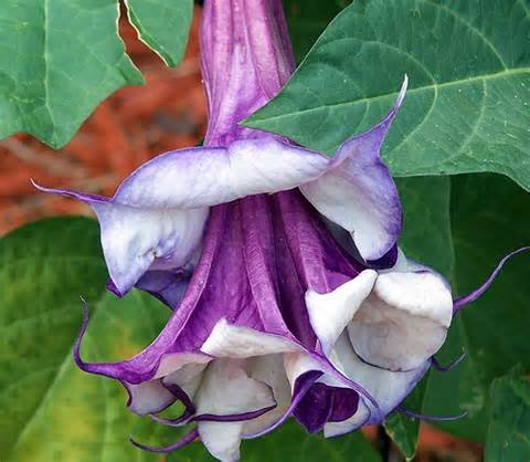 25 Double Purple Angels Trumpet Seeds/