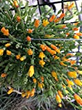 Rhipsalis Hatiora (Cactus) salicornioides - Orchid Plant - Easy-Grower - Indigenous to Brazil