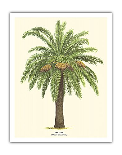 Pacifica Island Art Canary Island Date Palm Tree - Palmier (Phoenix Canariensis) - Vintage Botanical Illustration by Ferry c.1770s - Hawaiian Fine Art Print - 11in x 14in