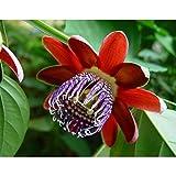 Perfumed Passion Flower 8 Seeds/Seed -Passiflora alata