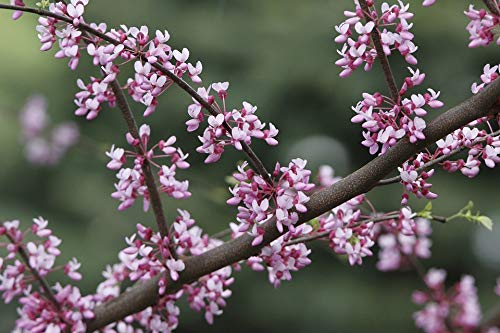 Trees Flowering Redbud - Home Comforts Laminated Poster Redbud Tree Pink Spring Redbud Tree Flowering Vivid Imagery Poster Print 24 x 36