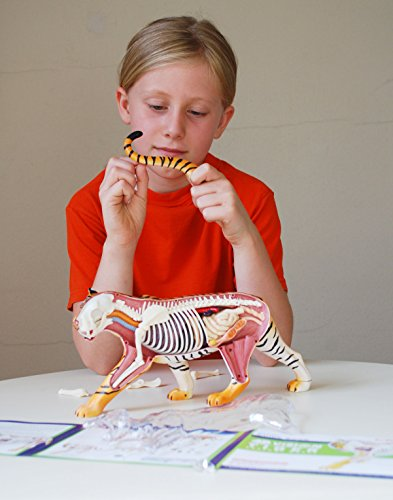 4D Vision Tiger Anatomy Model – Build your Own with 28 detachable parts & stand!