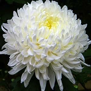 Crisantemo turner - 1 unidad - 3Litros - Blanco